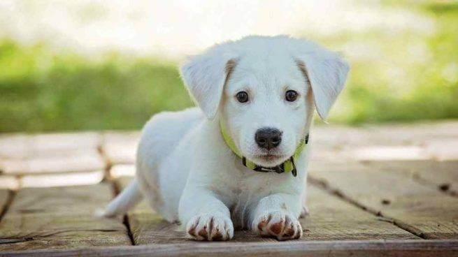 Cucciolo bianco sdraiato