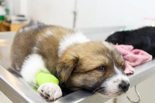 Cucciolo sul tavolo del veterinario