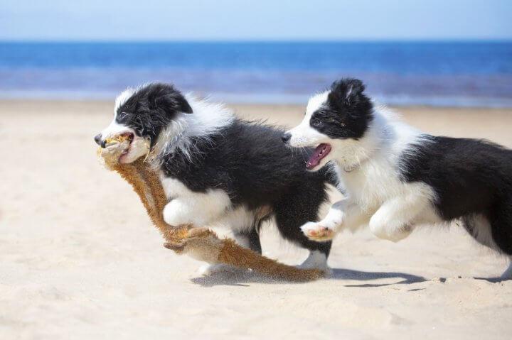 Due cuccioli di border collie che giocano in spiaggia