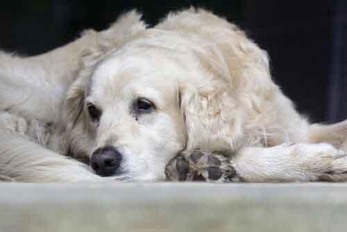 Cane anziano triste