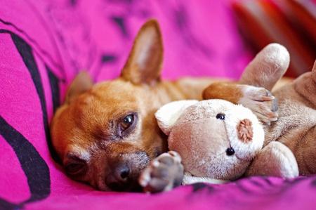 Gravidanza isterica nel cane